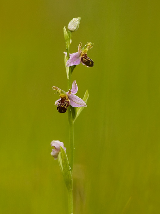 Bee-Orchid