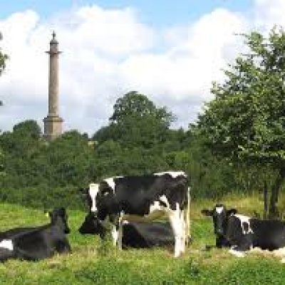 Burton Pynsent Monument Cows