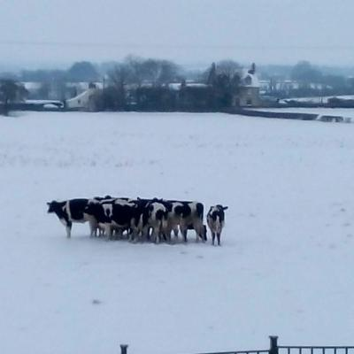 Cows in the snow Curry Rivel 2nd March 2018 1