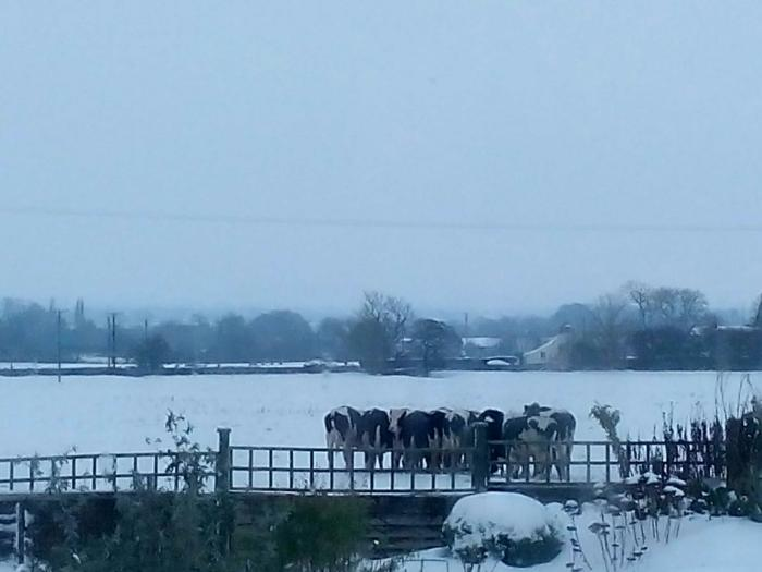 Cows in the snow Curry Rivel 2nd March 2018  2