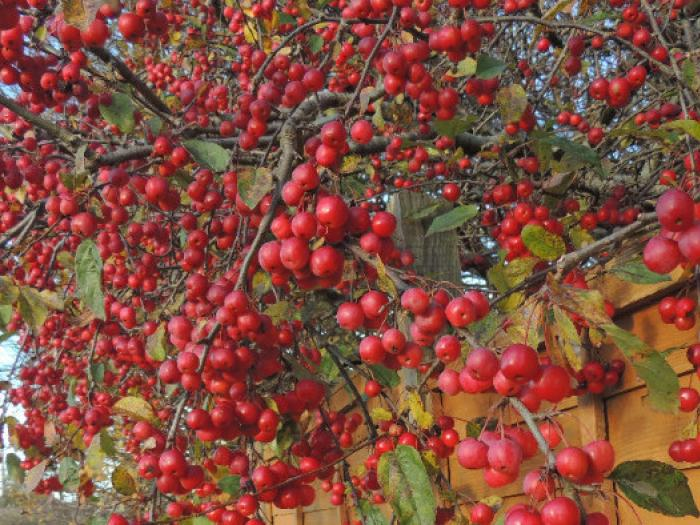 Crab Apple Colour Dec 2017