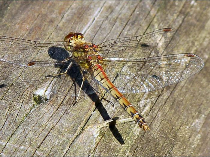 Dragonfly Catcott nature reserve