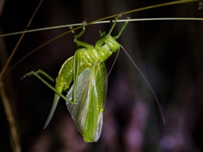 Great Green Cricket4