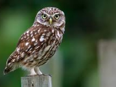 Little Owl1