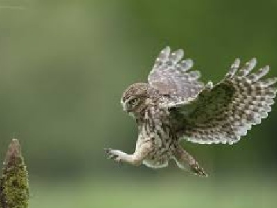 Little Owl2